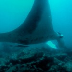 Manta Rays at Manta Point in Maldives