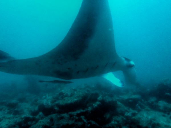 Manta Rays at Manta Point in Maldives