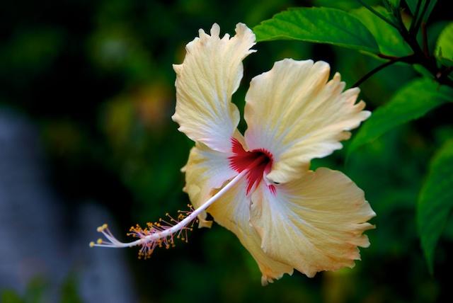 Favorite Flower Photographs Yellow Hibiscus Flower Widhadh